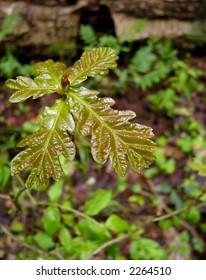 Small oaktree