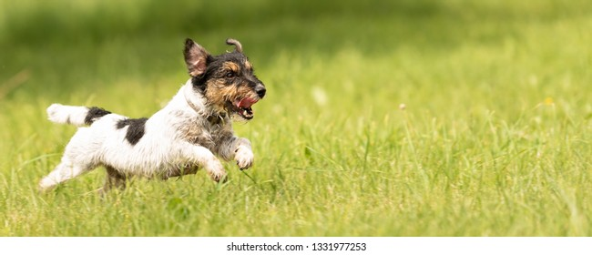 small old dog runs and flies over a green meadow in spring - Jack Russell Terrier Hound 10 years old