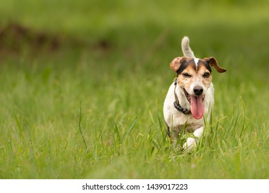 small old dog runs and over a green meadow in spring - Jack Russell Terrier Hound 10 years old
