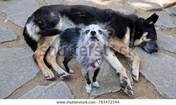 Small old dog speaks for big black dog