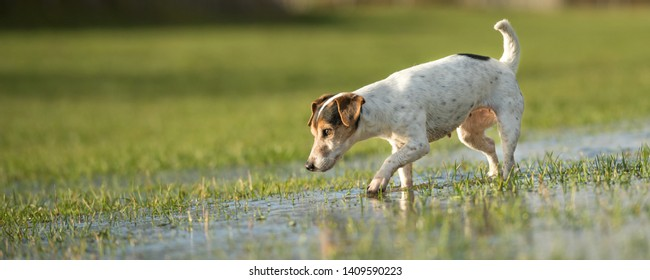 Small old  Jack Russell Terrier dog is running in a meadow with water puddles in a cold season. Doggie is 12 years old