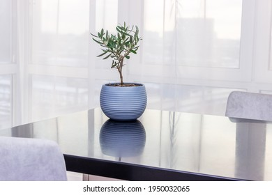 Small  Olive tree in blue flowerpot on table indoors. Ornamental plants for home decoration.