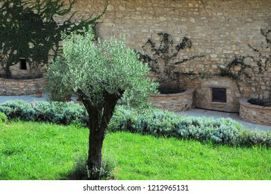 Small olive tree in a meadow on ancient stone wall background.
