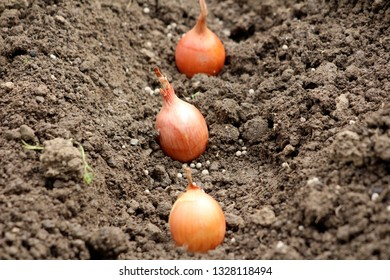 Small Onion or Allium cepa or Bulb onion or Common onion vegetable plant bulbs planted in a single row in moist soil of local garden on warm sunny day