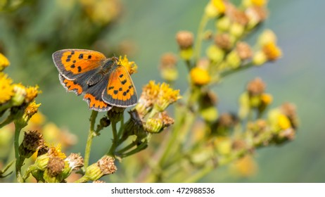Small orange butterfly (copper) named Lycaena phlaeas in the wild. Banner format