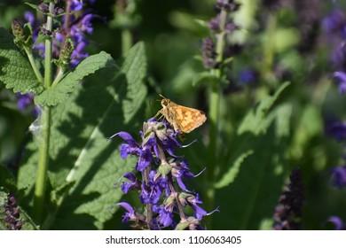 Small Orange Butterfly on Purple Flowers