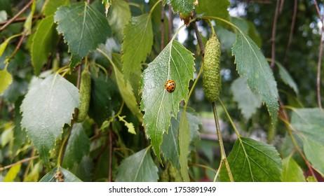 Small orange ladybug on a leaf next to a birch catkin.