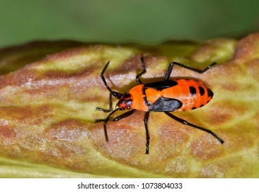 A small orange milkweed bug nymph  (Oncopeltus fasciatus) sitting on a milkweed plant. These insects are mildly toxic and can make animals sick that eat them.