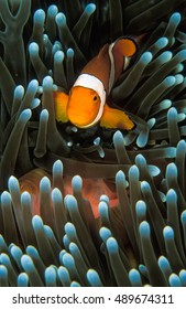 A small orange nemo fish swimming through its light green anemone fish