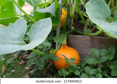 a small orange pumpkin surrounded by the plant's leaves