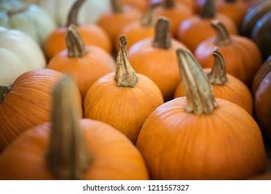Small orange thanksgiving harvest pumpkins