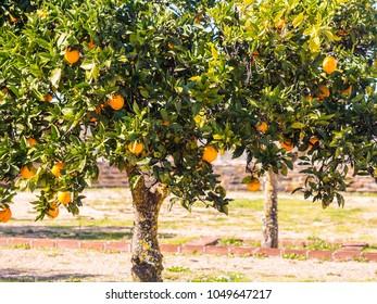 Small orange tree growing in Esporao in Alentejo region, Portugal