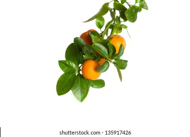 Small oranges on a branch isolated on white background