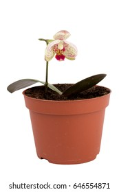 small orchid in pot isolated on a white background