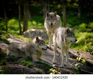 Un petit groupe de trois loups de bois de l'Est se rassemblent sur une pente rocheuse dans la nature nord-américaine.