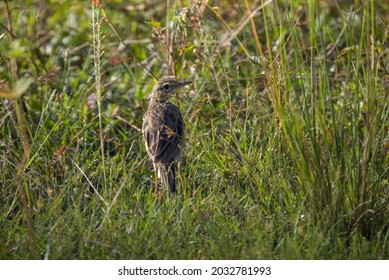 Small Paddyfield pipit bird looking back in nature background.