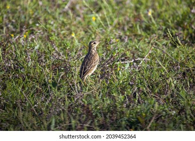 Small Paddyfield pipit bird scanning prey at ground in natural habitat.