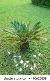 Small palm in the garden