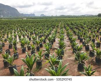 small palm tree in nursery plantation.