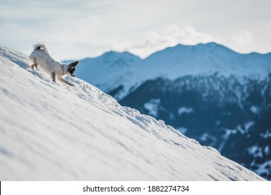 A small papillon dog running down a steep hill in the snow with Swiss Alps in the background.