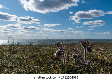 Small Pasque flowers by the coast in a low angle image