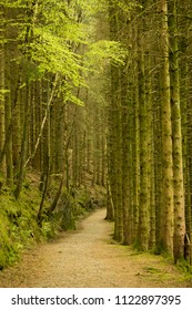 A small path disappears into the forest, tall trees guide the way.