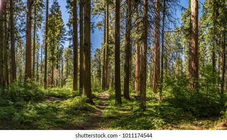 Small path winds between very tall redwood trees in a national park