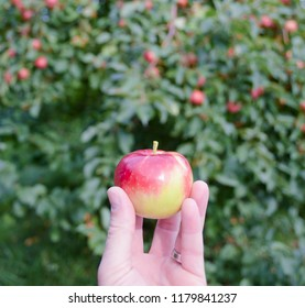 A small paula red apple held in hand in an apple orchard