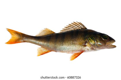small perch isolated on white background