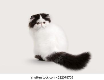 small persian kitten on white background