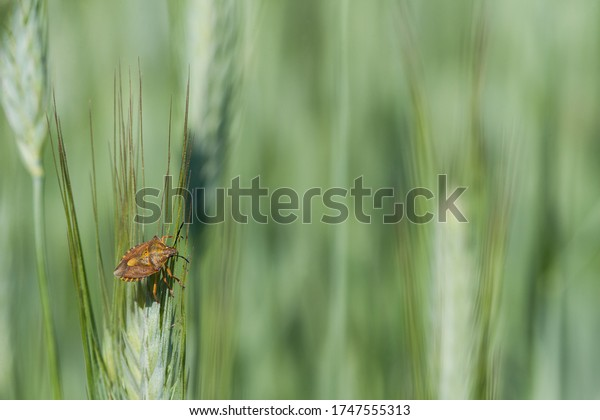 Small pest in the wheat field. A carpocoris fuscispinus sits on a wheat ear. It sucks out the unripe grain and is therefore considered a less important pest in agriculture.