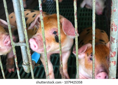 A small pig in a farm is sleeping or waiting for food to gain weight. Then sent to the slaughterhouse.