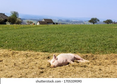 A small pig sleeping in open land pig farm - field-grown pigs are healthy agricultural products