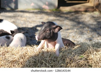 small pig in sunlight