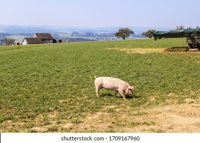 A small pig walking in open land pig farm - field-grown pigs are healthy agricultural products