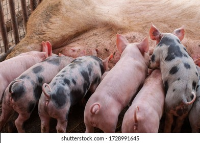Small piglet and adult pig in a farm.Domestic animal