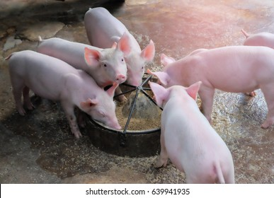 Feeding Piglets Photos - 9,674 feeding Stock Image Results
