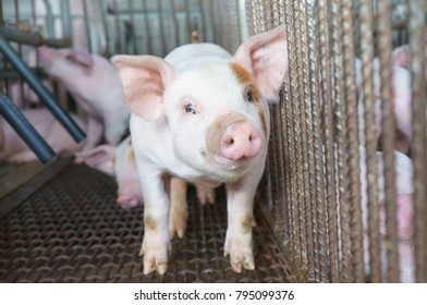 Small piglet in the farm