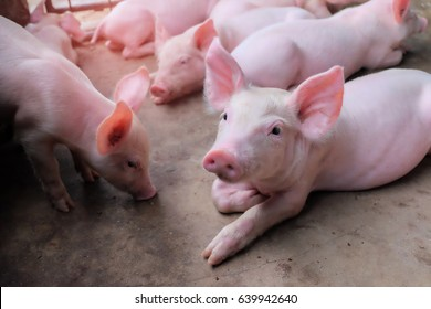 Small piglet sleep in the farm. Group of Pig indoor waiting feed. swine in the stall. Close up eyes and blur.