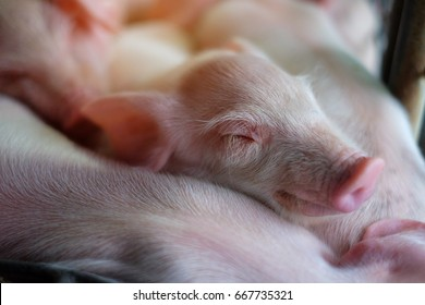 Small piglet sleep in the farm. Group of Pig waiting feed. swine in the stall. Close up eyes and blur.