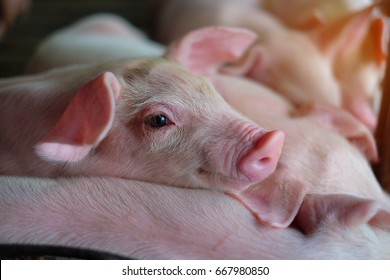 Small piglet sleep in the farm. Group of Mammal indoor waiting feed. swine in the stall. Close up eyes and blur.