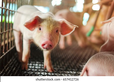 Small piglet standing in the farm. Group of Pig waiting feed. swine in the stall. Close up eyes and blur.