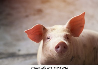 Small piglet waiting feed. Pig indoor on a farm yard in Thailand. swine in the stall. Close up eyes and blur. Portrait animal.