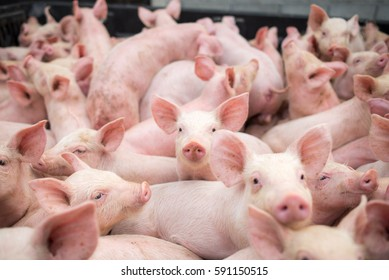 small pigs at the farm,swine in the stall. Meat industry.
