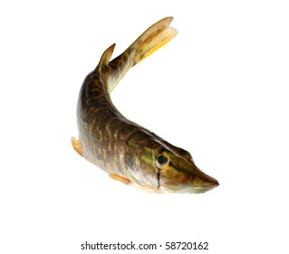 the small pike isolated on white background