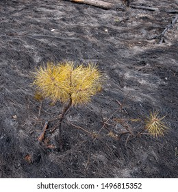 Small Pine and Ash Tree in the Forest After Fire, landscape. Spring season. Web banner.