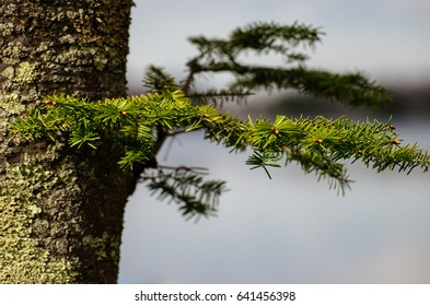 small pine branch isolated on a fir tree with a lake in the background