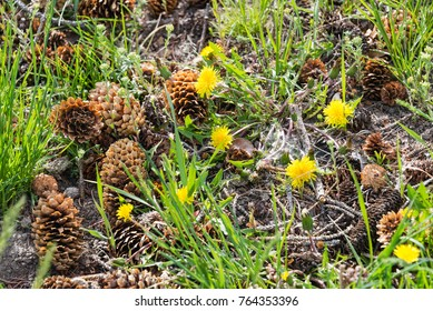 Small pine cones on a green grass at Yellowstone National Park, Wyoming, USA