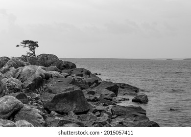 A small pine growing on a rocky coast. Black and white photo.