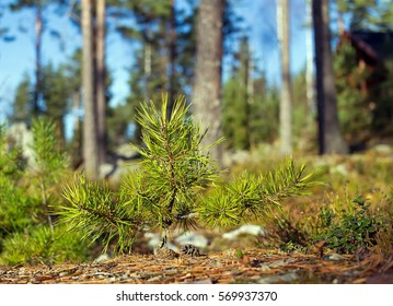 A small pine growing in the woods among the big trees in the autumn sun in Finland.